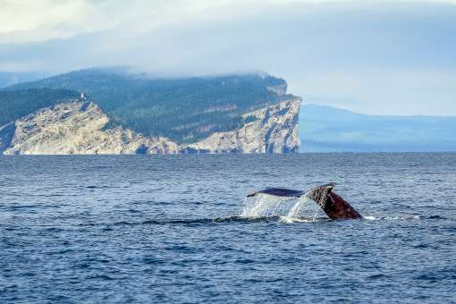 Whale and Cap Gaspé (c) Marc Debain