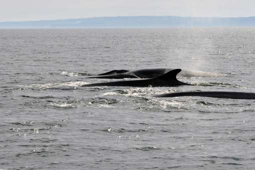Whales cruise / private boat (2h30)